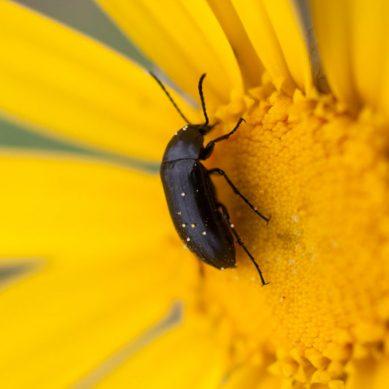¿Pueden los escarabajos ser clave para conocer los efectos del cambio climático?