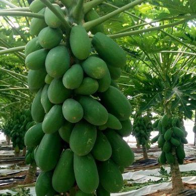 Investigadores UAL perfeccionan el cultivo de papaya incrementando su producción