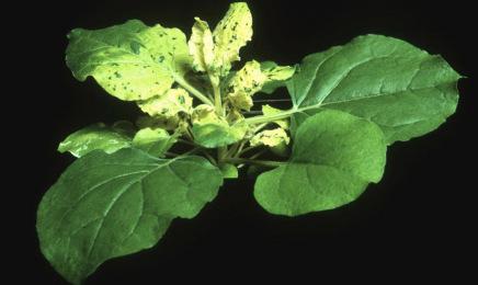 Una planta, posible clave para producir vacunas contra el COVID-19