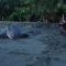 La UAL estudia el riesgo de extinción de las tortugas marinas por el cambio climático