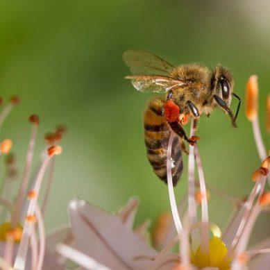 La UAL combatirá la contaminación ambiental con 'abejas centinela'