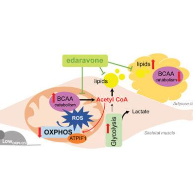 La obesidad también depende de la actividad de las mitocondrias del músculo