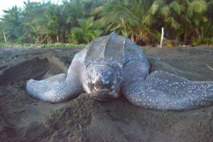Imagen de una tortuga marina en el Caribe