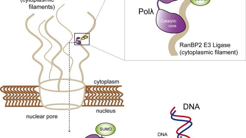 Identifican un nuevo mecanismo molecular del proceso de reparación del ADN humano