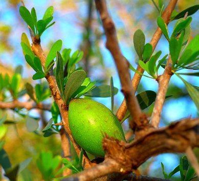 La UAL ensaya la obtención local y sostenible de aceite de argán