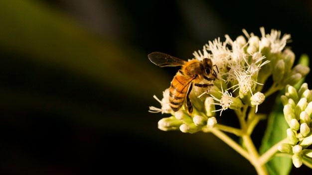 Las abejas silvestres vuelve a las vías pecuarias