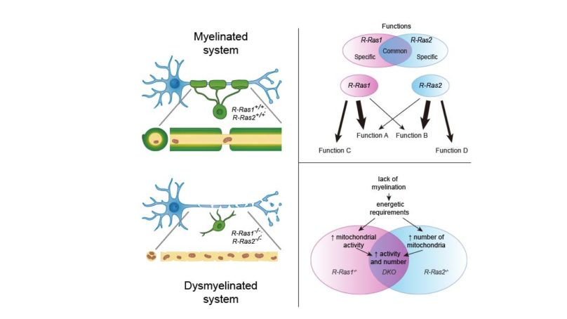 Describen un nuevo modelo para el estudio de patologías que afectan a la mielinización