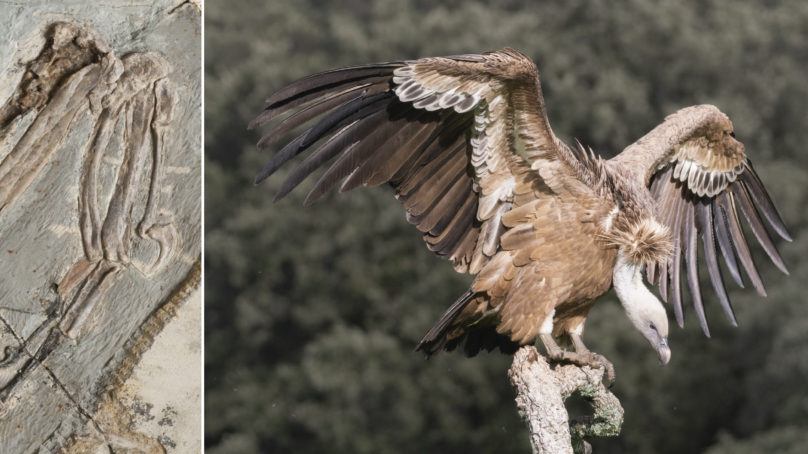 Dinosaurios manirraptores, el secreto para volar estaba en sus manos
