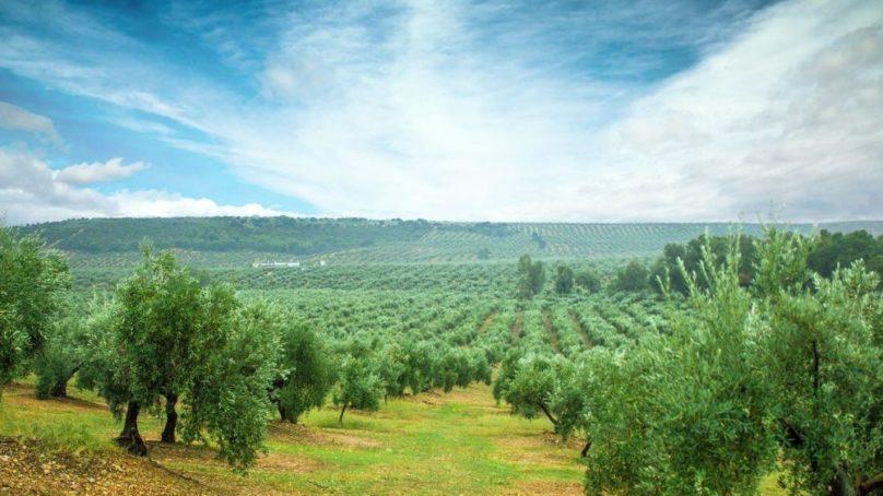 Un proyecto europeo para ayudar a pequeños productores de aceite de oliva de la cuenca mediterránea