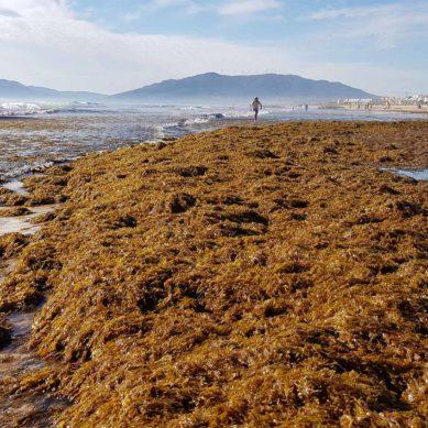 La UMA se suma a la lucha contra el 'alga asiática' en las costas españolas