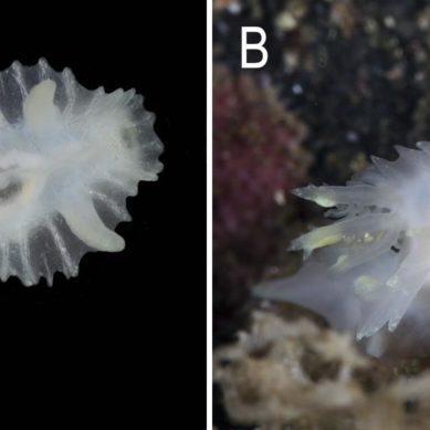 Desnudando a un molusco desnudo… sin tocarlo