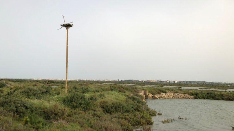 Instalan un nuevo nido para la recuperación del águila Pescadora en la Bahía de Cádiz